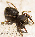 Jumping Spider - Ghelna - female
