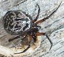 Cobweb spider SK - Enoplognatha marmorata - female