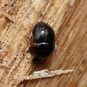 Round fungus beetle - Agathidium