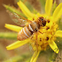 Small Bee fly - Chrysanthrax?