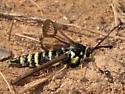 Fireweed Clearwing Moth? - Albuna pyramidalis