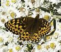 Fritillary - Speyeria - female