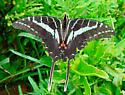 Dark Kite Swallowtail - Eurytides philolaus