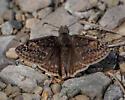 DSC08105 brown butterfly bg - Erynnis juvenalis