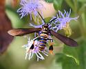 Texas Wasp Moth ?? - Horama panthalon