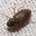 Water Scavenger Beetle - Helophorus