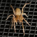 Clubionidae? - Hibana gracilis