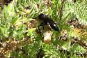 Cutworm Wasp - Podalonia