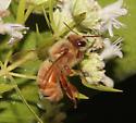 Western Honey Bee, dorsal - Apis mellifera - female