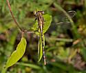 DragonflyLancetClubtail_Gomphus_exilis06012016_CV - Gomphus