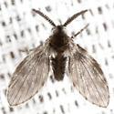 Unlnown Moth Fly