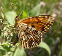 Pale Crescent from WY - Phyciodes pallida - male