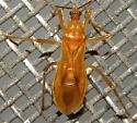 Oncerotrachelus pallidus