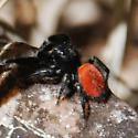 Spider with red abdomen - Phidippus