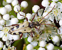 Flower Longhorn Beetle - Evodinus monticola