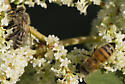 Unknown Bee - Apis mellifera