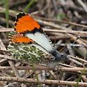 Pieridae: Anthocharis julia - Anthocharis julia