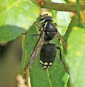 Bald Faced Hornet or ?? - Dolichovespula maculata