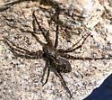 Striped Fishing Spider (Dolomedes scriptus)? - Dolomedes scriptus