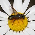 Different Crabronidae? - Eucerceris flavocincta