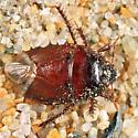 Cydnid - Pangaeus bilineatus