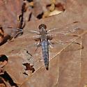 Blue Corporal - Ladona deplanata - female
