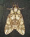 Unknown Moth - Ceratomia undulosa