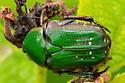 What type of beetle? - Euphoria limbalis