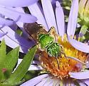 Cuckoo Bee? - Agapostemon virescens - female