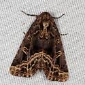 moth - Homophoberia cristata
