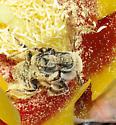 Mating cactus bees (Diadasia) - Diadasia - male - female