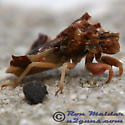 Jagged Ambush Bug - Phymata fasciata