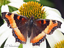 Brown & Orange Butterfly - Aglais milberti