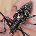 Black Beetle - Monochamus scutellatus