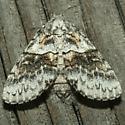 Moth - Gluphisia wrightii