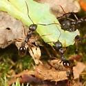 Ants dragging caterpillar - Aphaenogaster picea - female