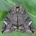 A Noctuid Moth - Euparthenos nubilis