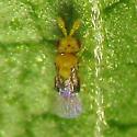 Teeniest Hymenopteran Ever