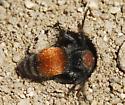 velvet ant_Pseudomethoca propinqua - Pseudomethoca propinqua - female