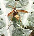 paper wasp - Mischocyttarus