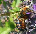 Carpenter bee - Xylocopa micans - male