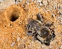 Ground nesting bees - Diadasia bituberculata