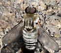 White Bee Fly