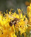 Western Honey Bee?
