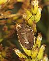 199903 Holcostethus - Holcostethus limbolarius