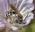 Another pollinator of Phacelia exilis - Dufourea