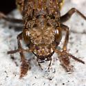 Beetle larva? - Ontholestes cingulatus
