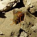 Tachininae sp.