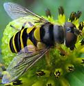 Transverse Flower Fly - female