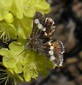Schinia - Microhelia angelica